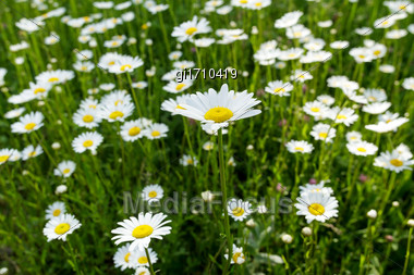 Fresh Wild Daisies On A Sunny Day, Close Up, Top View Stock Photo