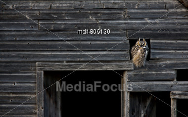 Great Horned Owl In Barn Window Abandoned Stock Photo