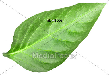 Green Leaf Of Pepper. Isolated On White Background. Close-up. Studio Photography Stock Photo
