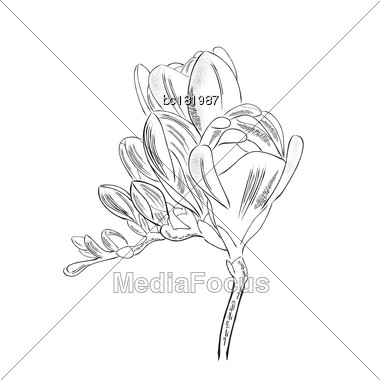 Hand Drawn Outline Freesia Flower Isolated On White Background, Vector Format Stock Photo