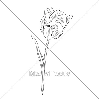Hand Drawn Outline Tulip Flower Isolated On White Background, Vector Format Stock Photo
