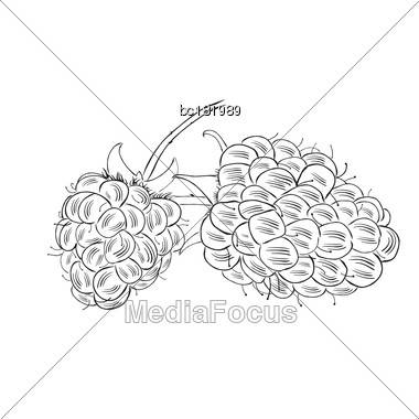 Hand Drawn Raspberry Isolated On White Background. Sketch Style Vector, Cute Eco Food Illustration Stock Photo
