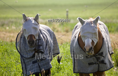 Head Covered Horses In Saskatchewan Canada Summer Stock Photo