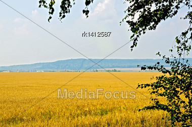 Landscape With Yellow Grain Fields, Buildings, Forest, Sky And Birch Branches In The Foreground Stock Photo