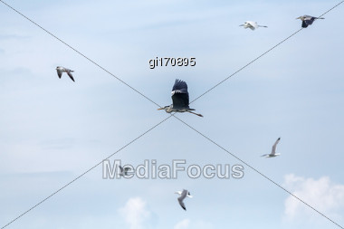 Large Gray Heron Beautifully Flies In The Sky Against The Background Of Seagulls Stock Photo