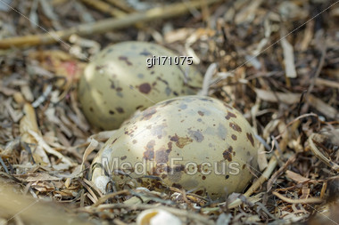 Multicolored, Spotted Gull Eggs In Natural Habitat, Close-up Stock Photo