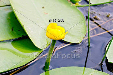Nenuphar Yellow In Water Against The Background Of Green Leaves Stock Photo