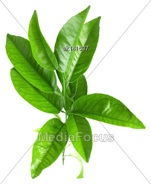 Only Branch Of Citrus-tree With Green Leaf. Isolated On White Background. Close-up. Studio Photography Stock Photo