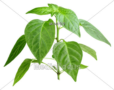 Only Young Branch Of Pepper With Green Leaf. Isolated On White Background. Close-up. Studio Photography Stock Photo