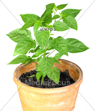Only Young Branch Of Pepper With Green Leaf In Ceramic Pot. Isolated On White Background. Close-up. Studio Photography Stock Photo
