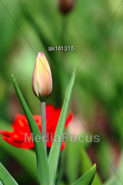 Orange Tulip Bud On Plant Background. Close-up Stock Photo