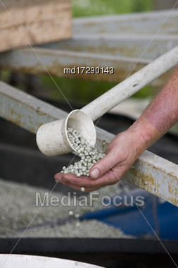 Pea Crop Harvest Pulse Saskatchewan Canada Prairie Stock Photo