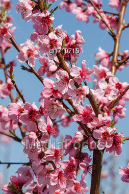 Peach Blossoms Close-up Against The Blue Sky Stock Photo
