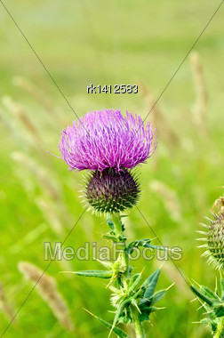 Pink Thistle Flower On A Background Of Green Grass Stock Photo
