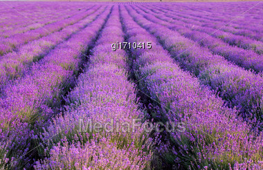 Plantation Of Lavender. Flowers Of Fragrant Lavender Closeup On A Sunset Background Stock Photo
