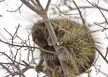 Porcupine In Tree Close Up Winter Canada Stock Photo