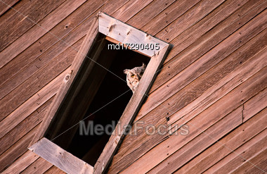 Prairie Barn Saskatchewan Summer Owl In Window Stock Photo