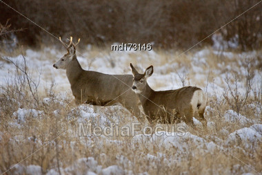 Prairie Deer In Winter In Saskatchewan Canada Stock Photo
