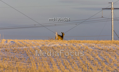 Prairie Deer At Sunset Field Saskatchewan Canada Stock Photo