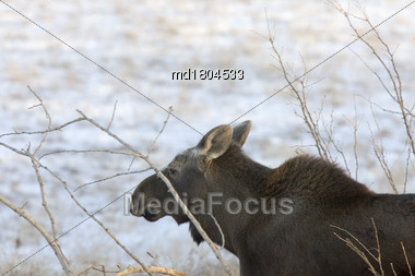 Prairie Moose Saskatchewan Canada Cow Calf Trees Stock Photo