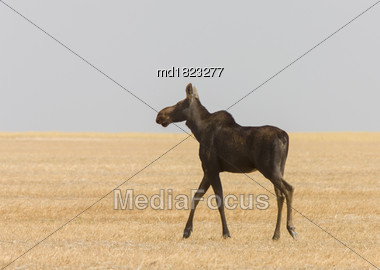 Prairie Moose Saskatchewan Hot Summer Day Open Scene Stock Photo