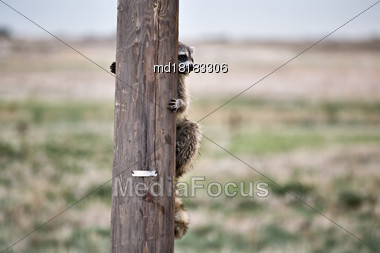 Racoon Hiding Telephone Pole In Saskatchewan Canada Stock Photo