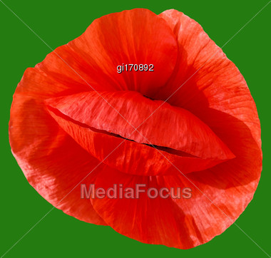 Red Poppy Flower On A Green Background Close-up. View From Above Stock Photo
