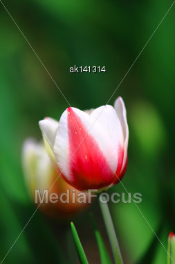 Red And White Tulip On Dark Green Background. Close-up Stock Photo