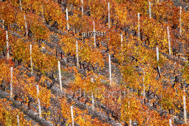 Rows Of Vineyard Sunny Autumn Day. Close-up Stock Photo