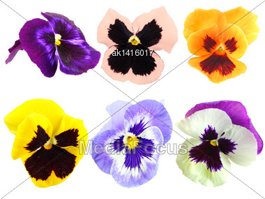 Set Of Motley Pansy Flowers. Isolated On White Background. Close-up. Studio Photography Stock Photo