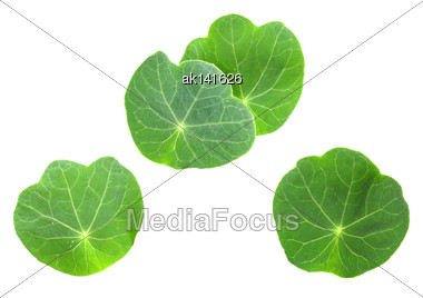 Several Leafs Of Young Nasturtium Seedling. Isolated On White Background. Close-up. Studio Photography Stock Photo