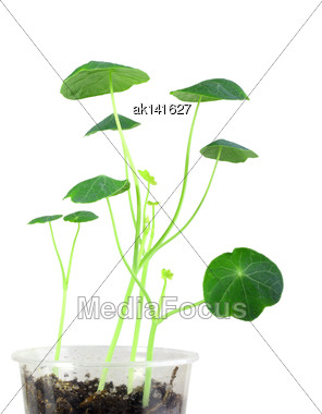 Several Sprouts Of Young Nasturtium Seedling. Isolated On White Background. Close-up. Studio Photography Stock Photo