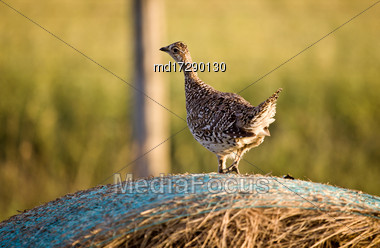 Sharp Tailed Grouse On A Hay Bail Canada Stock Photo