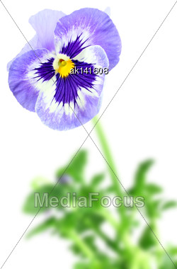 Single Blue Pansy Flower On Of-focus Green Leaf Backdrop. Isolated On White Background. Close-up. Studio Photography Stock Photo