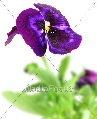 Single Dark Violet Pansy Flower On Of-focus Green Leaf Backdrop. Isolated On White Background. Close-up. Studio Photography Stock Photo