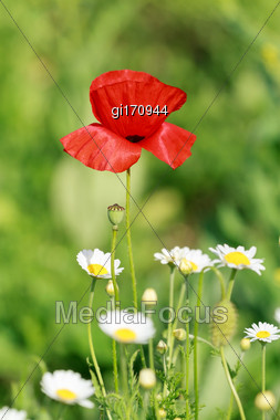 Single Flower Of Wild Red Poppy On Blue Sky Background With Focus On Flower Stock Photo
