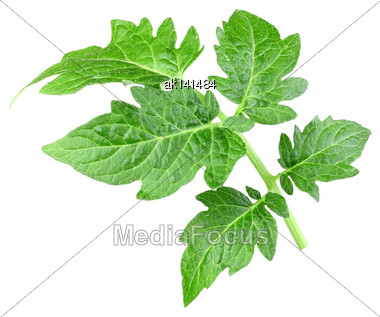 Single A Green Leaf Of Tomato. Isolated On White Background. Close-up. Studio Photography Stock Photo