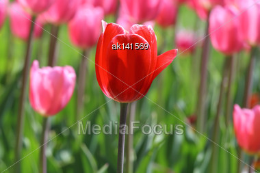 Single Red Tulip On Background Of Pink Tulips And Green Leafs On Sunlight Stock Photo