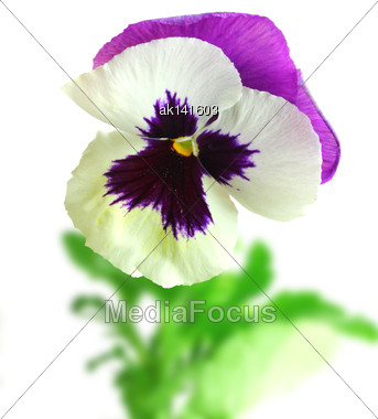 Single White-purple Pansy Flower On Of-focus Green Leaf Backdrop. Isolated On White Background. Close-up. Studio Photography Stock Photo