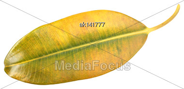 Single Yellow-green Leaf Of Pipal. Isolated On White Background. Close-up. Studio Photography Stock Photo