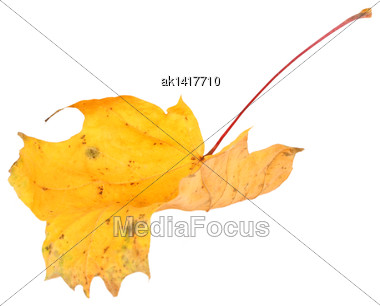 Single Yellow Twisted Maple-leaf. Isolated On White Background. Close-up. Studio Photography Stock Photo