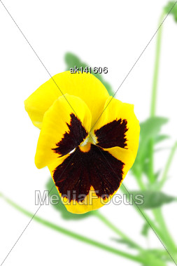 Single Yellow-violet Pansy Flower On Of-focus Green Leaf Backdrop. Isolated On White Background. Close-up. Studio Photography Stock Photo