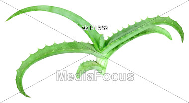 Single Young Branch Of Aloe With Green Leaf. Isolated On White Background. Close-up. Studio Photography Stock Photo