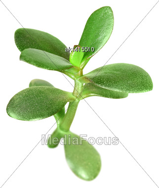 Single Young Branch Of Crassula With Green Leaf. Isolated On White Background. Close-up. Studio Photography Stock Photo