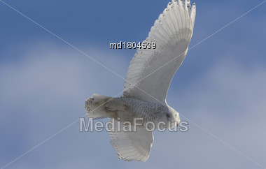 Snowy Owl In Flight Blue Sky End Of Day Stock Photo