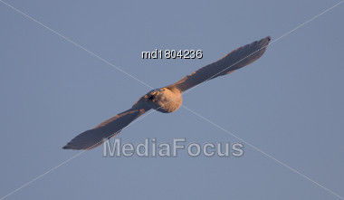 Snowy Owl In Flight In Saskatchewan Canada Blue Sky Stock Photo