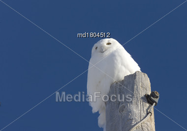 Snowy Owl On Pole Blue Sky Saskatchewan Canada Stock Photo
