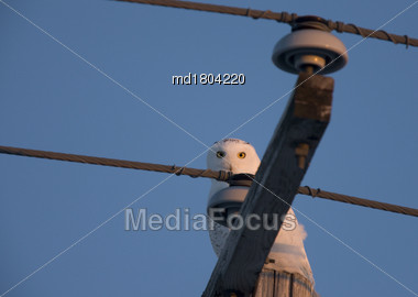 Snowy Owl On Pole Winter In Saskatchewan Canada Stock Photo