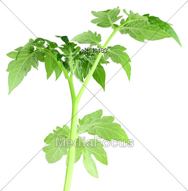 Sprout With Green Leaf Of Tomato. Inside View. Isolated On White Background. Close-up. Studio Photography Stock Photo