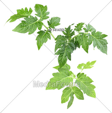 Sprout With Green Leaf Of Tomato. Isolated On White Background. Close-up. Studio Photography Stock Photo